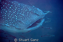 Whaleshark - taken at Richelieu rock last Saturday. by Stuart Ganz 